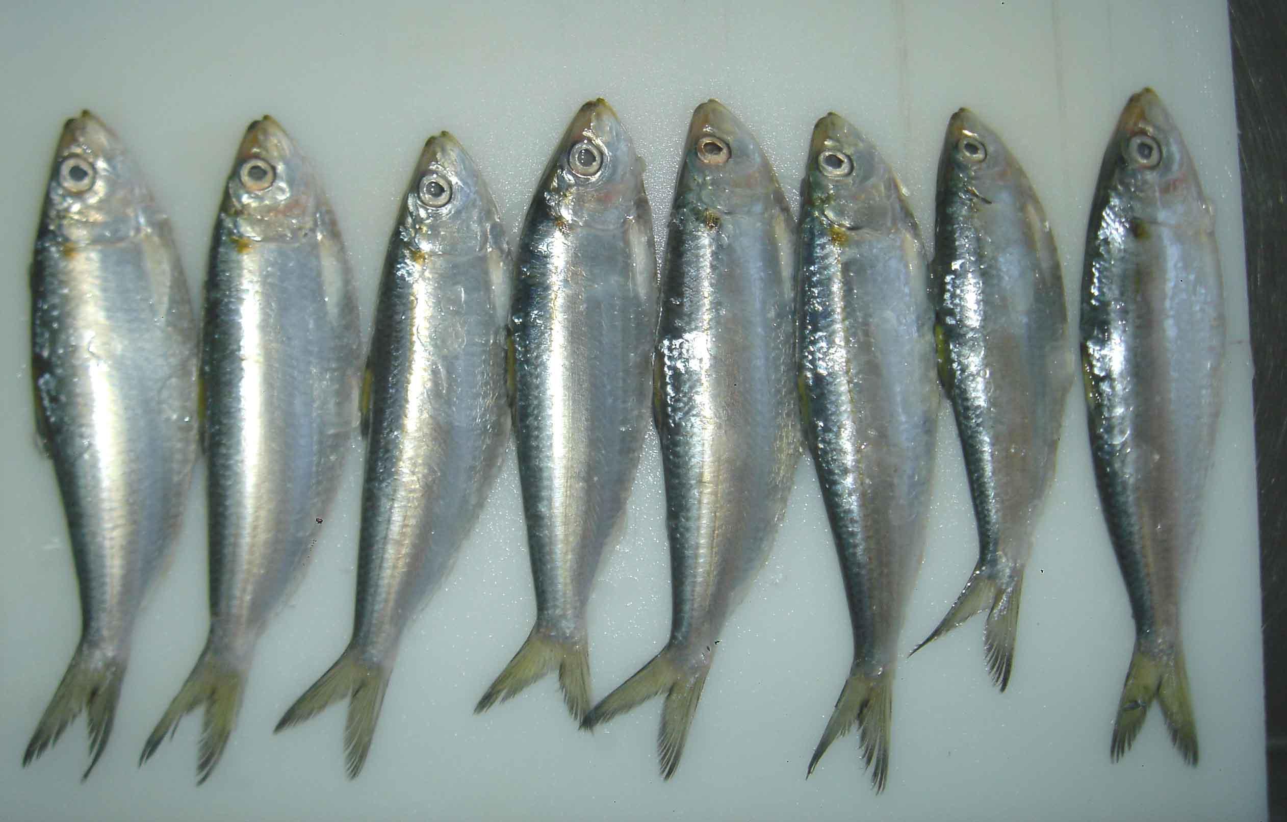 ca-trich ca-diec-Các loại cá tốt cho mẹ và thai nhi